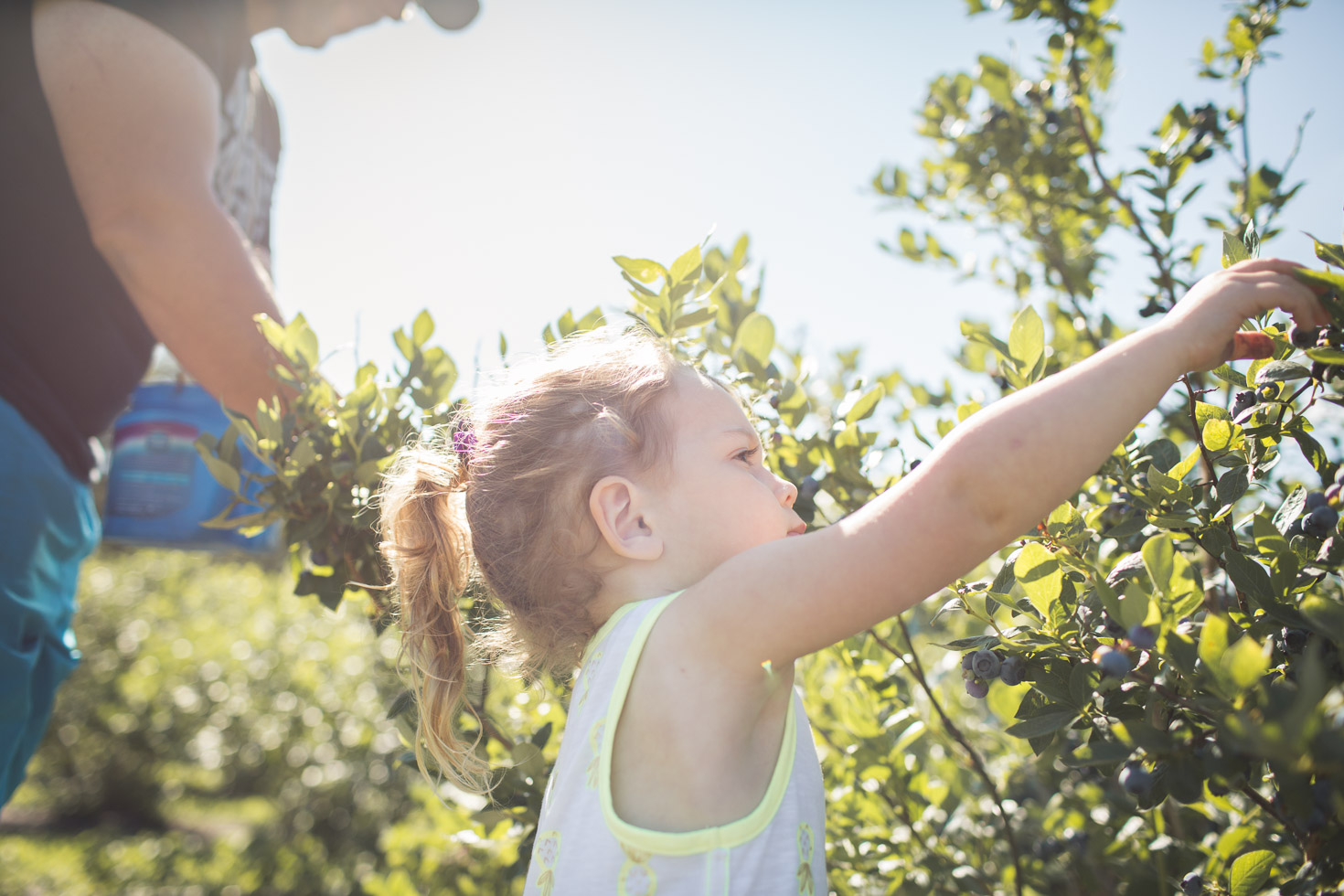 toddler girl picking blueberries with father in morning light