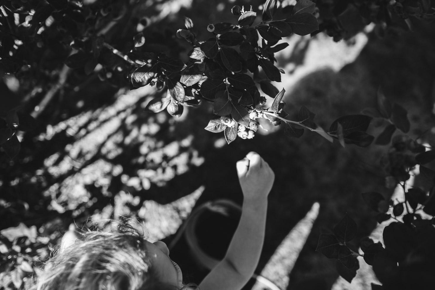 toddler girl picking blueberries while seated; black and white