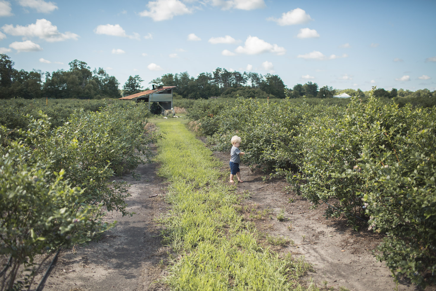 wide angle shot of boy in blueberry field, powerful scenery