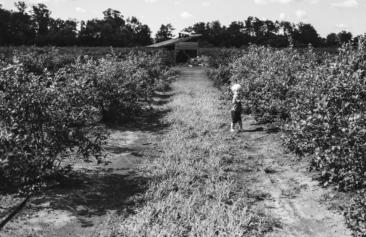 wide angle image of toddler boy in blueberry field; black and white