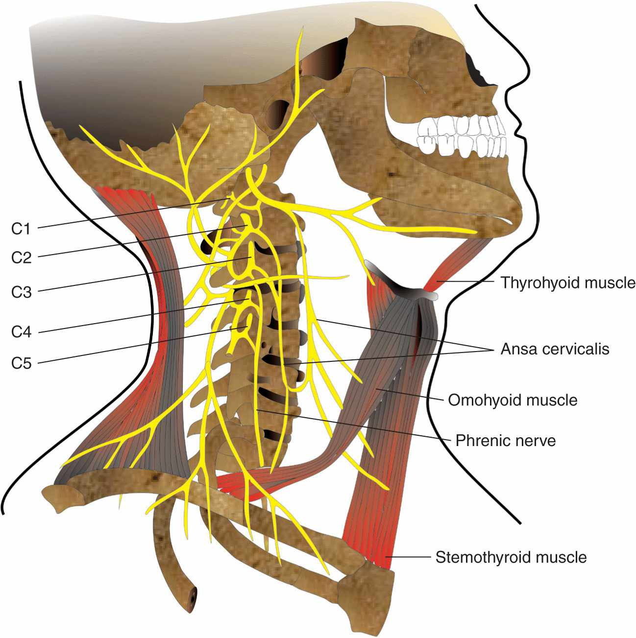 burke chiropractor chiropractic cspine.jpeg