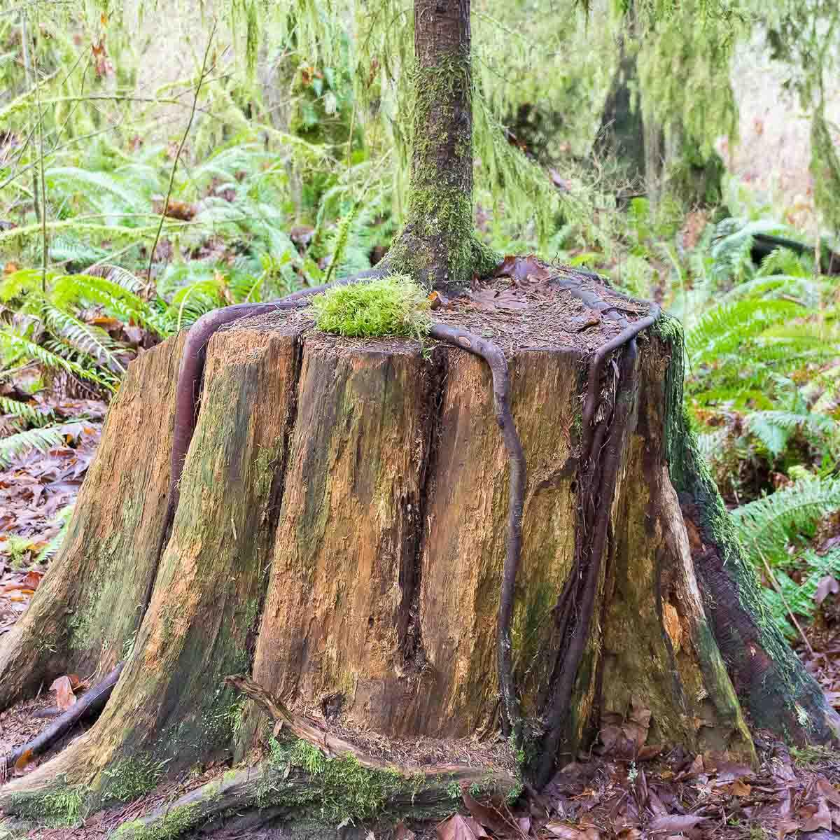 western hemlock growing on western redcedar stump