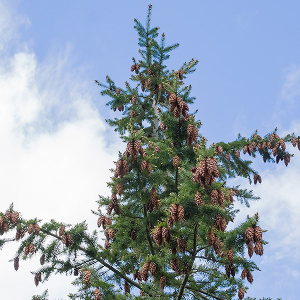 Douglas-fir with cones clustered near top