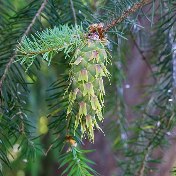 Douglas-fir: green cone in summer