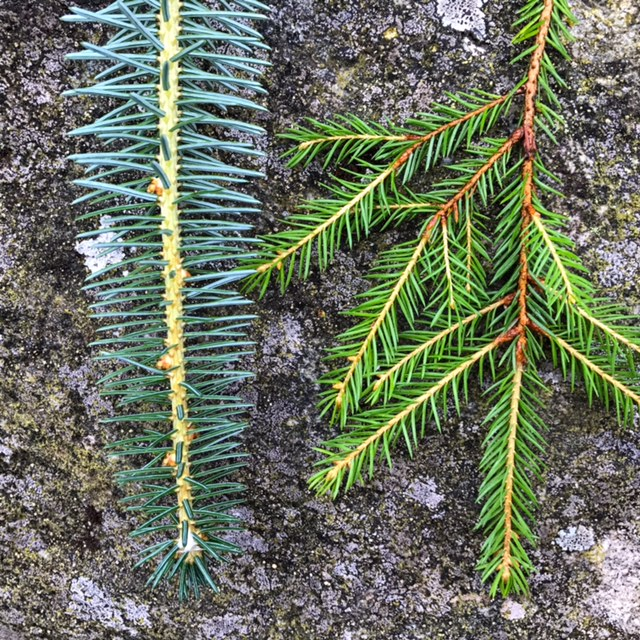 Bottom side: Sitka spruce vs. Norway spruce