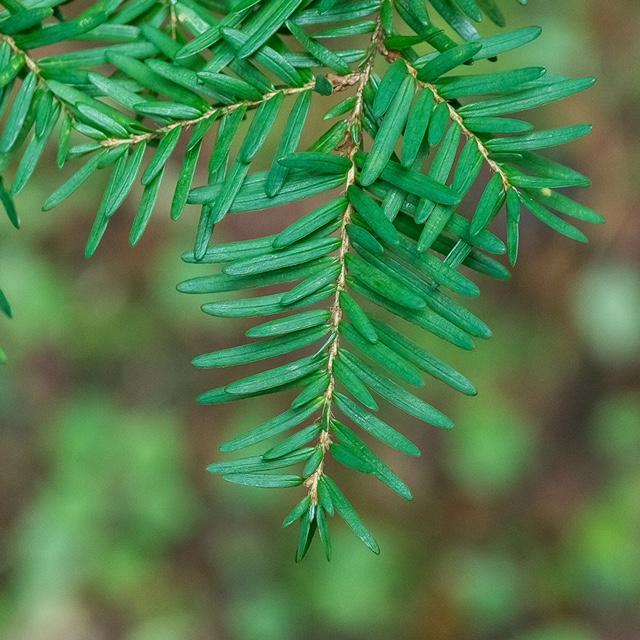 top side of western hemlock needles