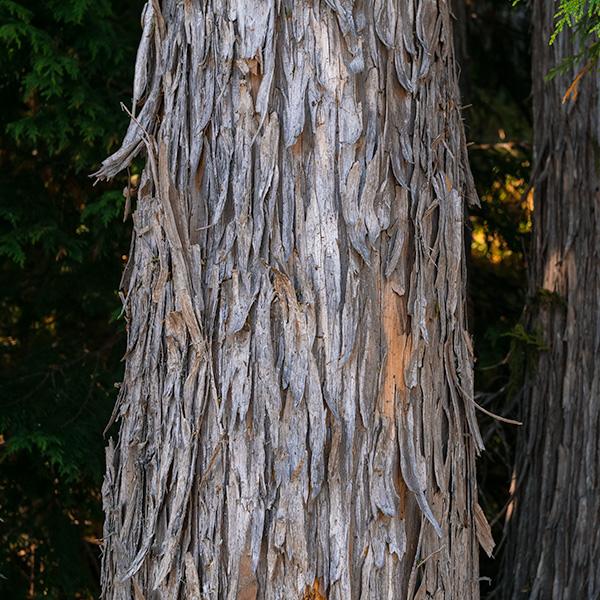 yellow underneath shaggy bark