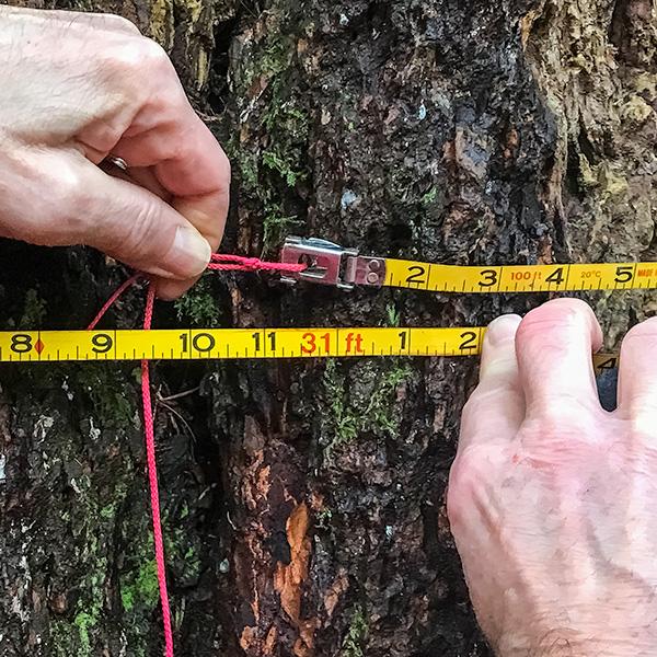measuring the girth at 31' / 9.5m