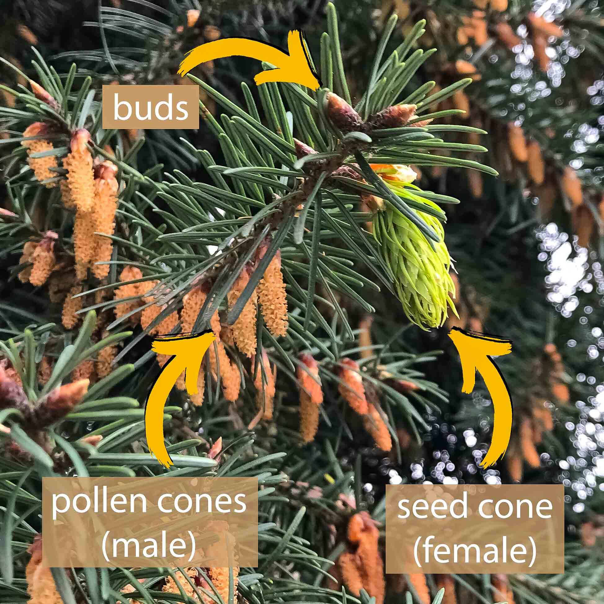 Douglas-fir parts, labeled