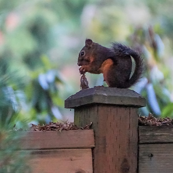 Douglas squirrel with chaff from cones