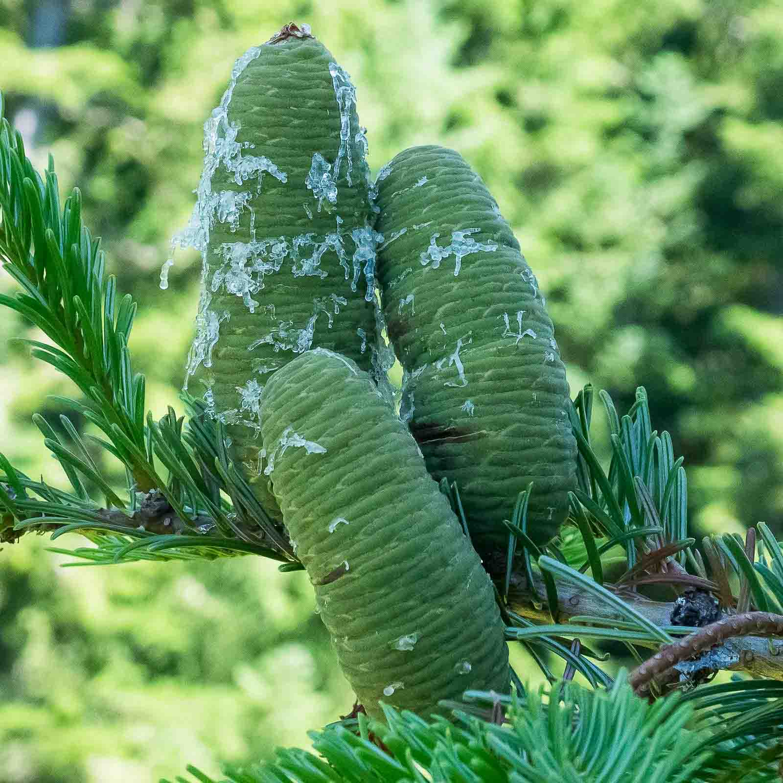 grand fir cones covered with sap