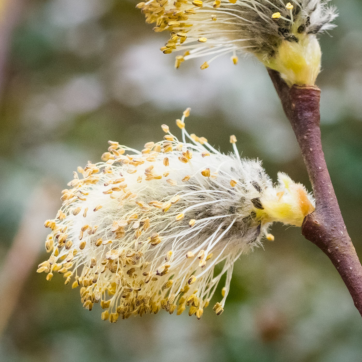 Today: Pussy willow catkins, mid-March