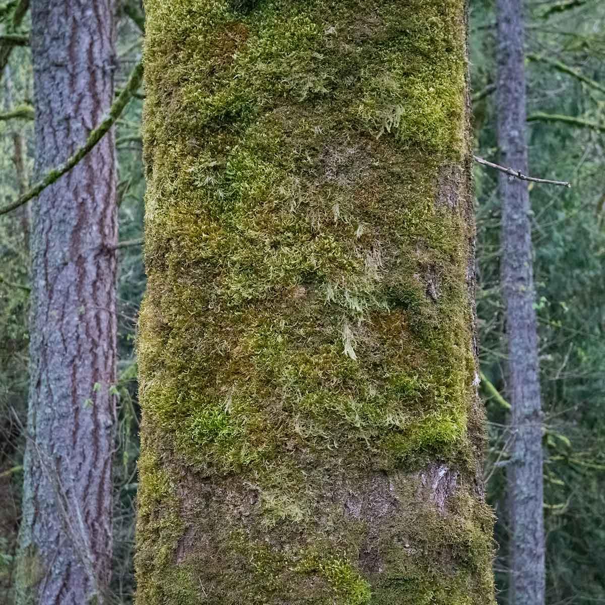 Bigleaf maple trunk