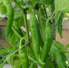 korean hot pepper.evergreenseeds.com.jpg