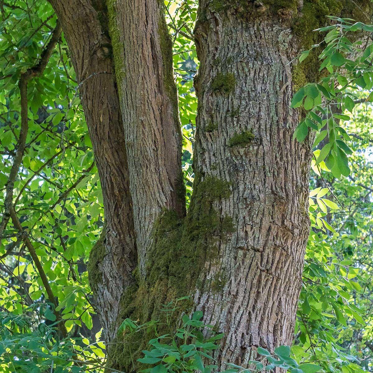 Bark of mature Oregon ash