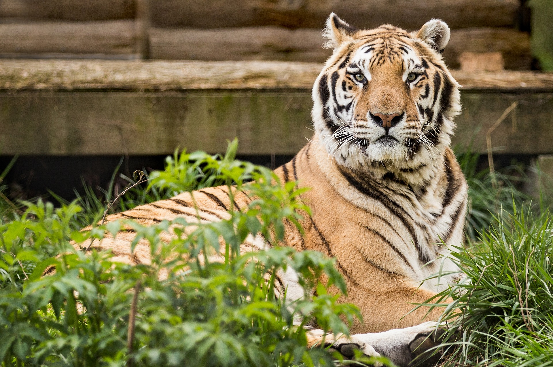 Fun fact: Tigers can comfortably fast for a few days before needing to refuel!