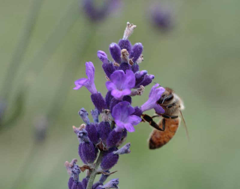 photo of bee in lavender field
