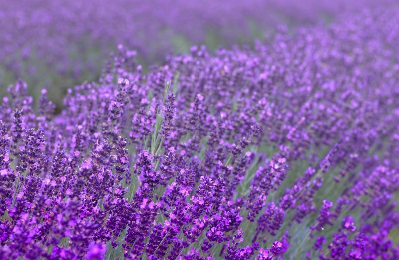 lavender field photos