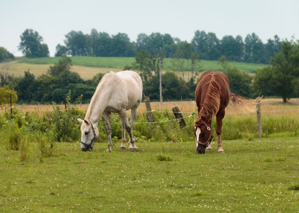 White horse and brown horse on green field