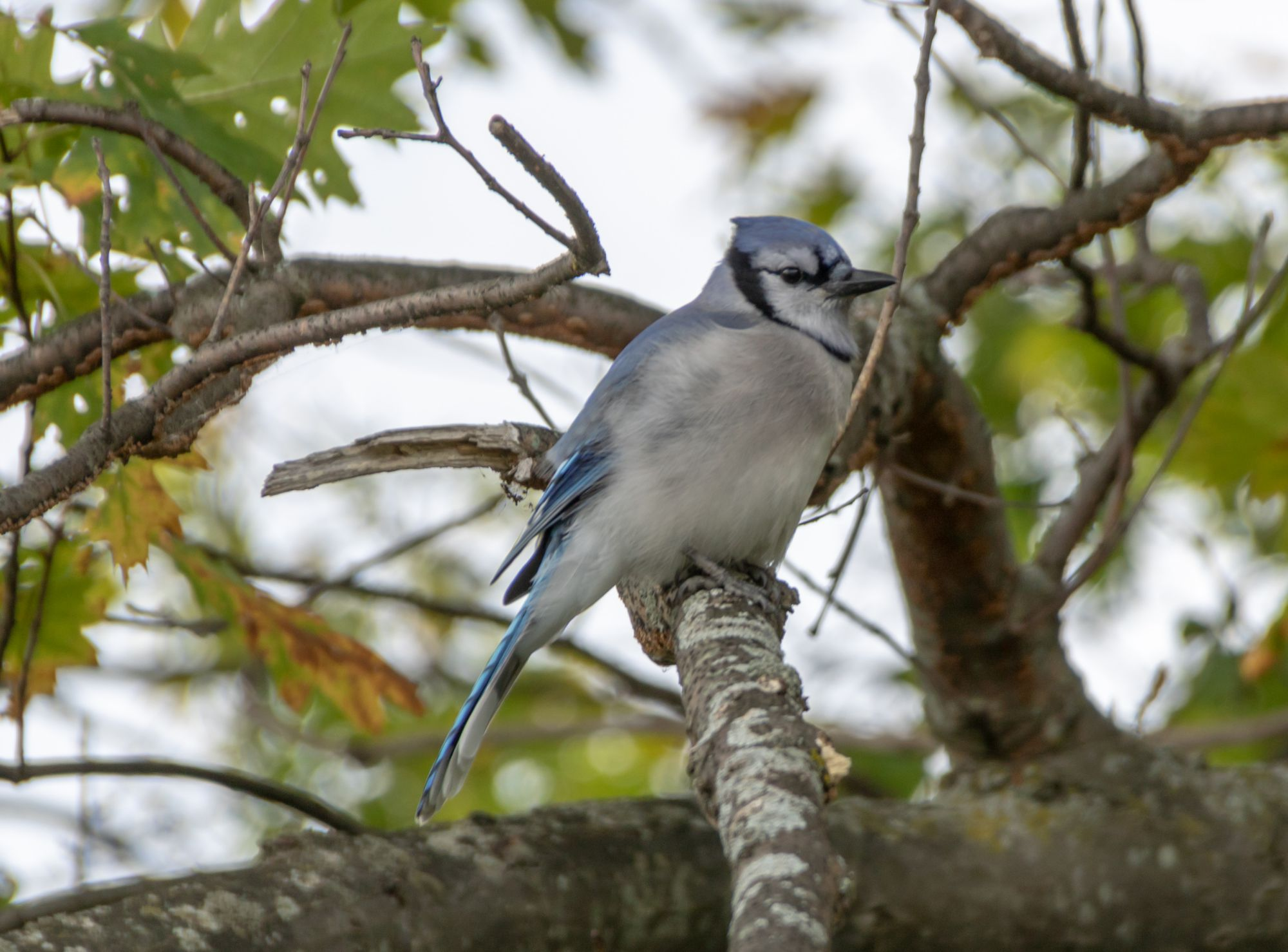 Blue jay photography