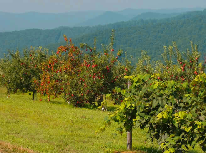 Sky Top Orchard - Panoramic mountain views, orchard ponds with ducks and geese, a barnyard area, a bamboo forest to explore, lots of picnic areas and, of course, a mountaintop of fragrant apple and fruit trees.
