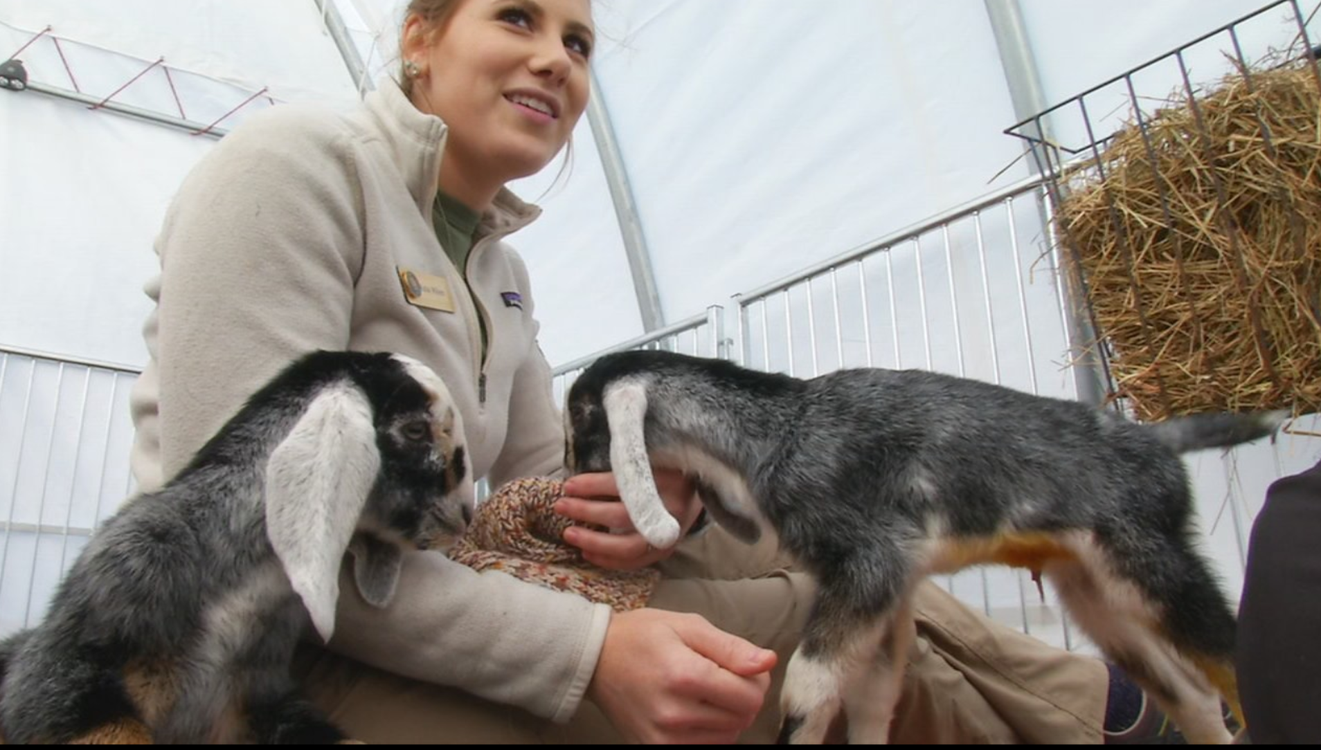 Our New Neighbors! - Two new baby goats at Carl Sandburg Home