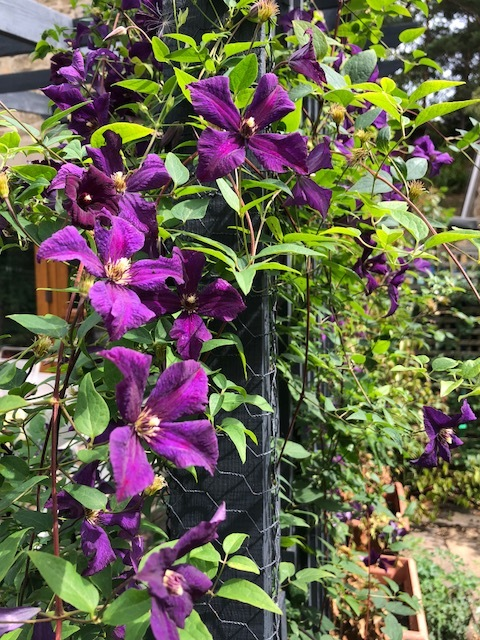This clematis has been amazing.