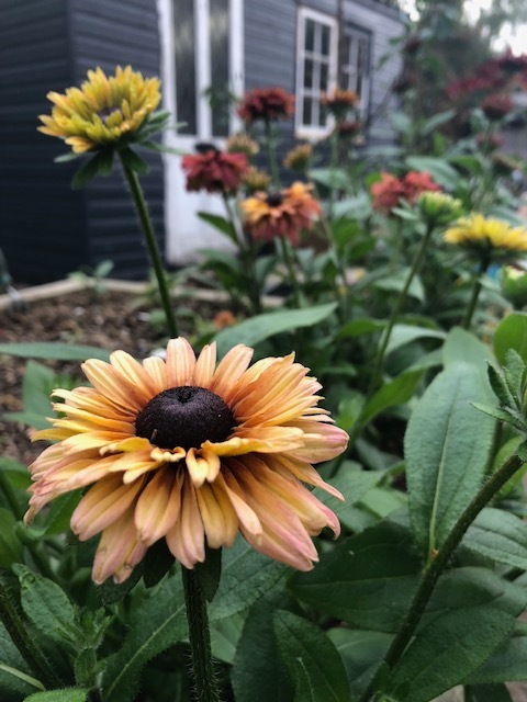 Rudbeckia sahara is a firm favourite here. My outside workspace is starting to take shape now.