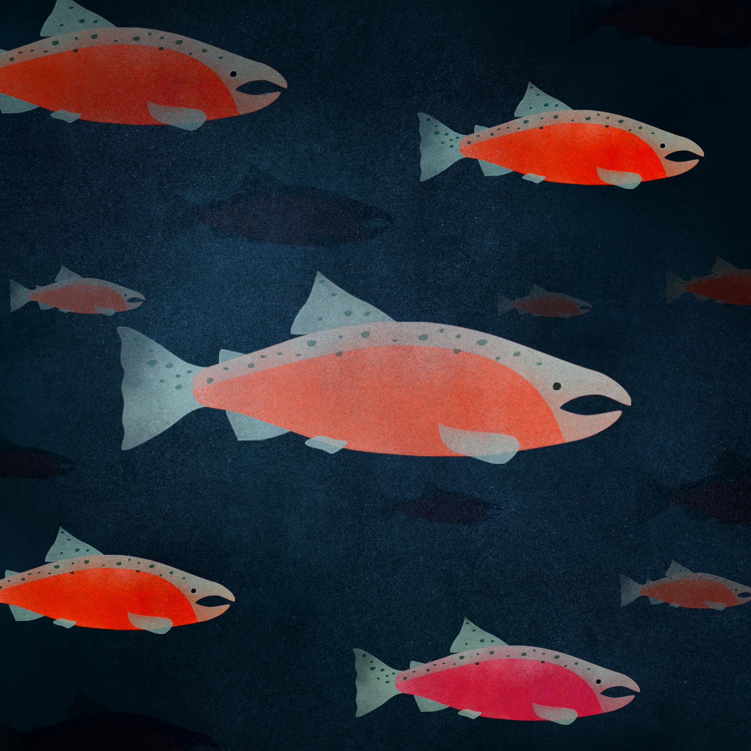 salmon swimming.jpg