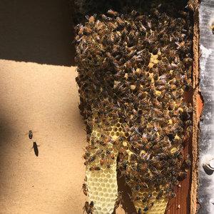 organic, raw honey, Sacramento  beekeeper, bee swarms, swarm removal