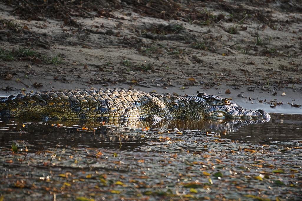 Nile Crocodile 30X20.jpg