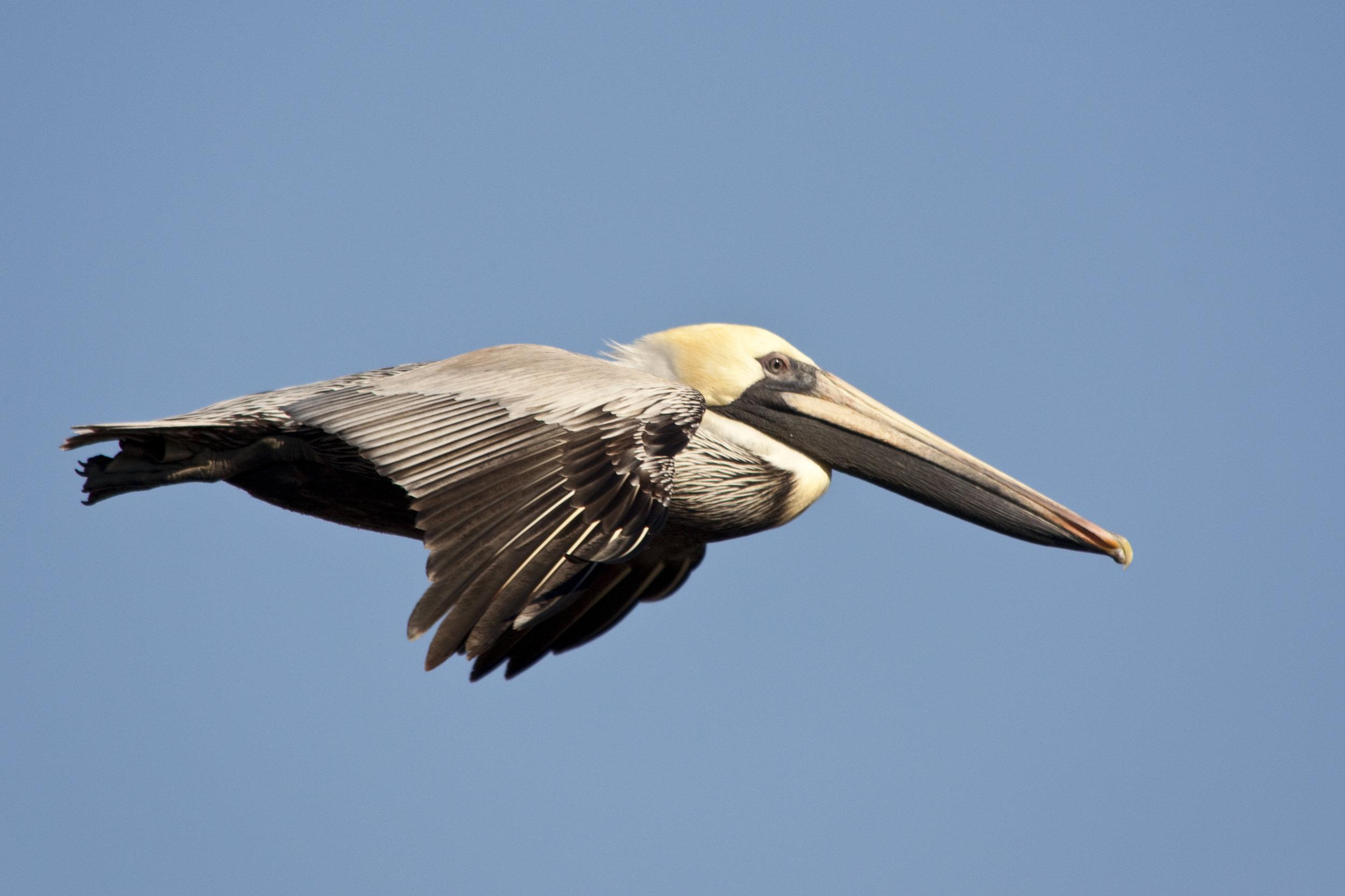 Brown Pelican.jpg