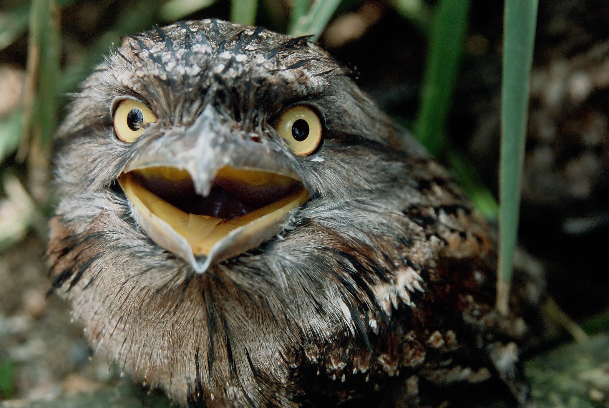 Tawny Frogmouth.JPG