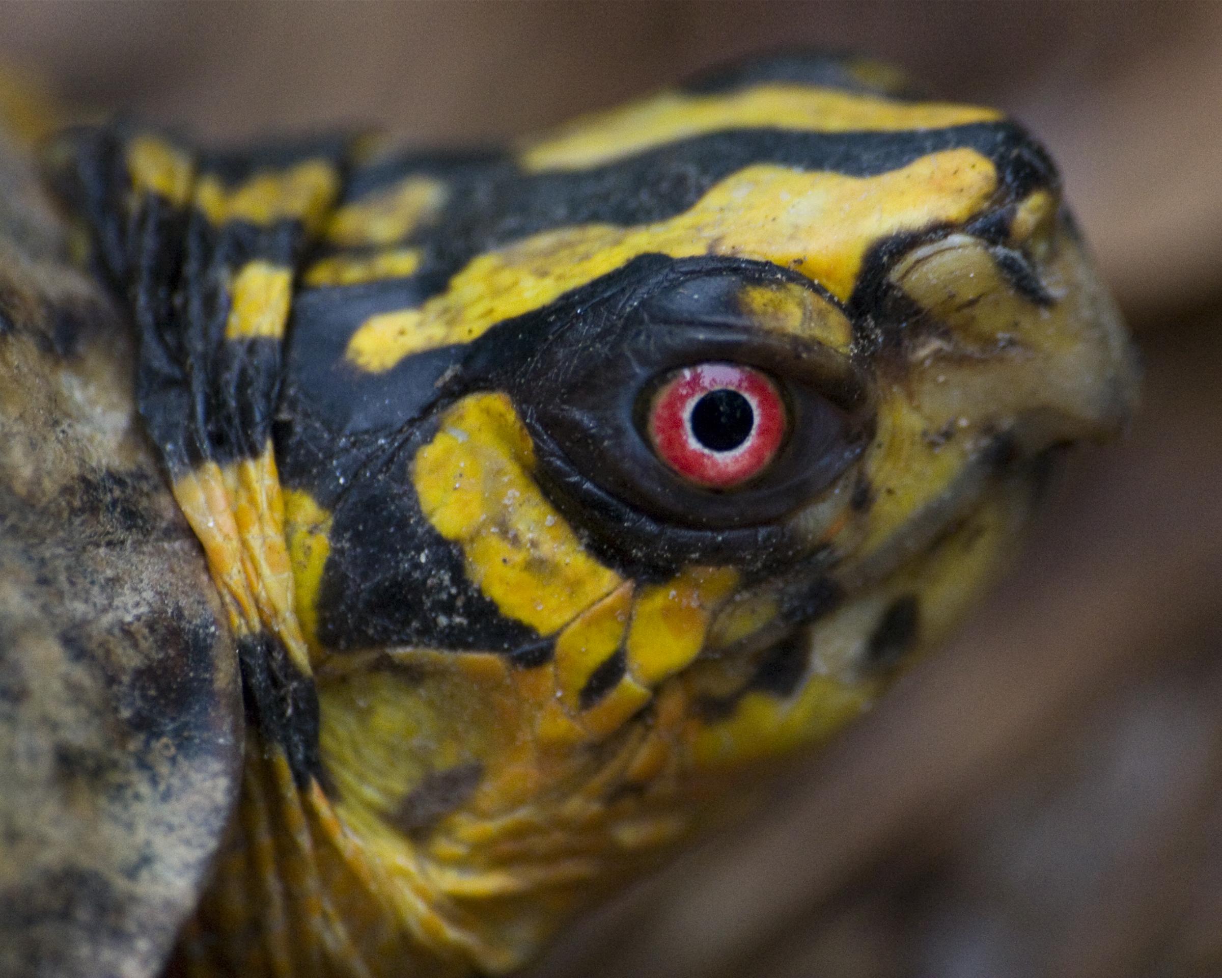 Eastern Box Turtle.jpg