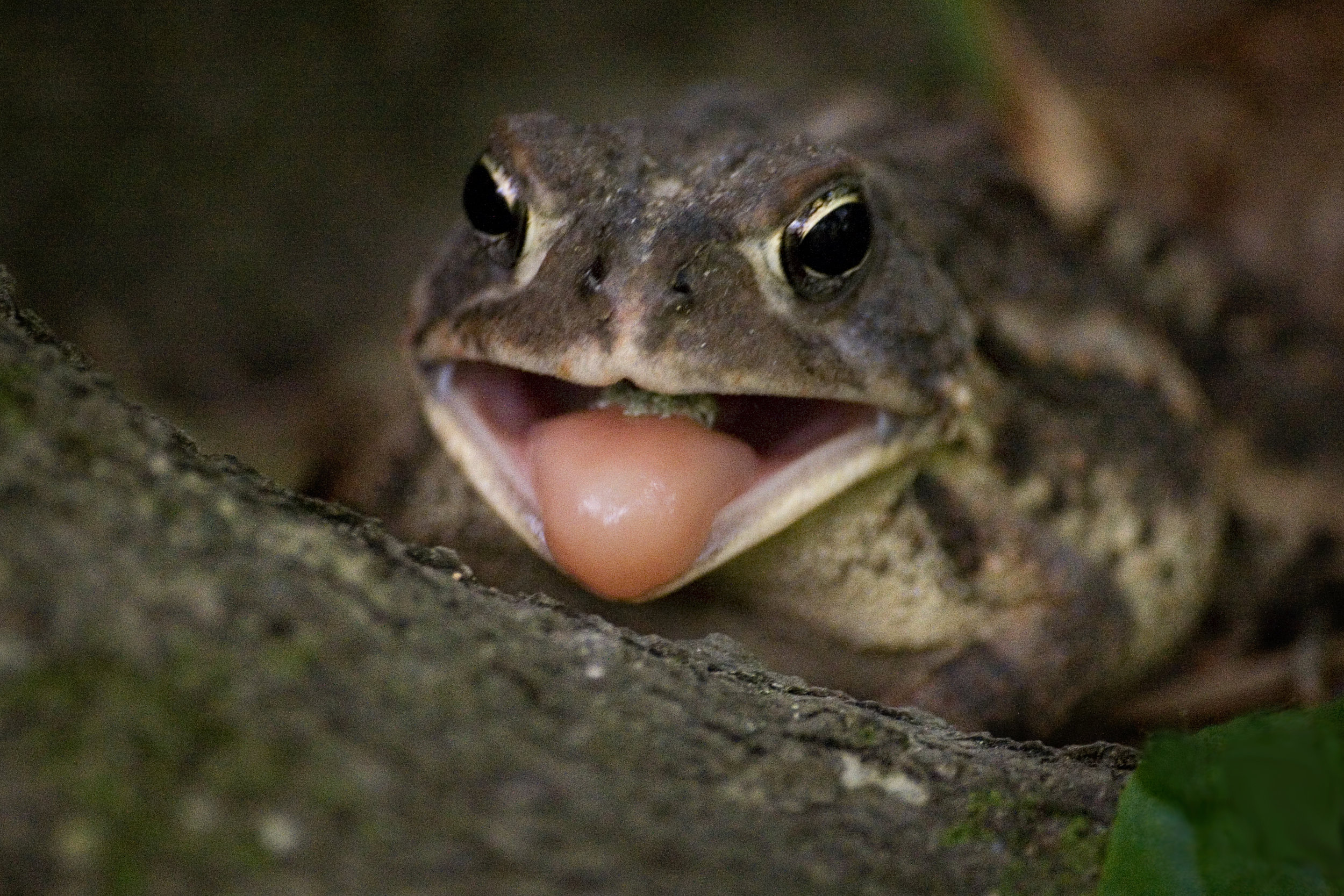 Southern Toad.jpg