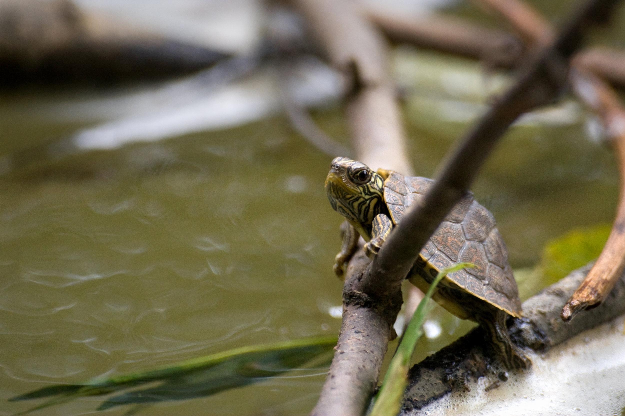 Baby Map Turtle.jpg