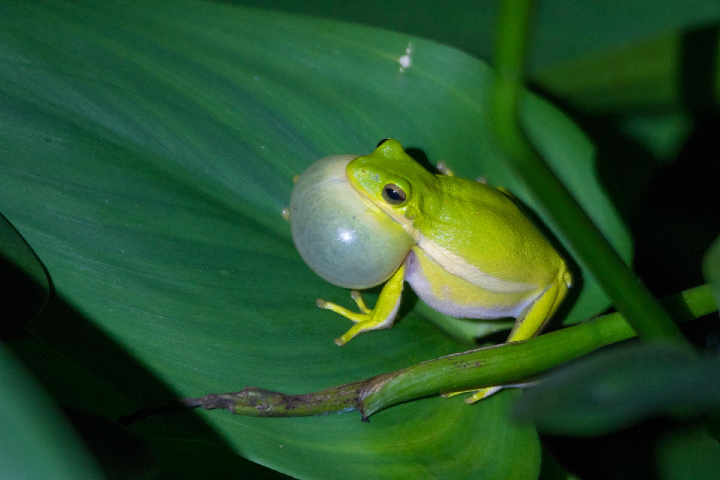 Tree Frog Calling.jpg
