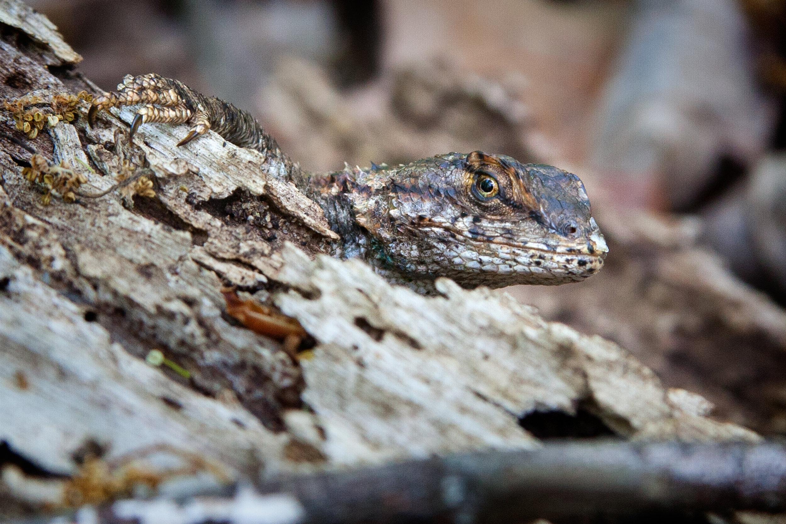 Eastern Fence Lizard.jpg