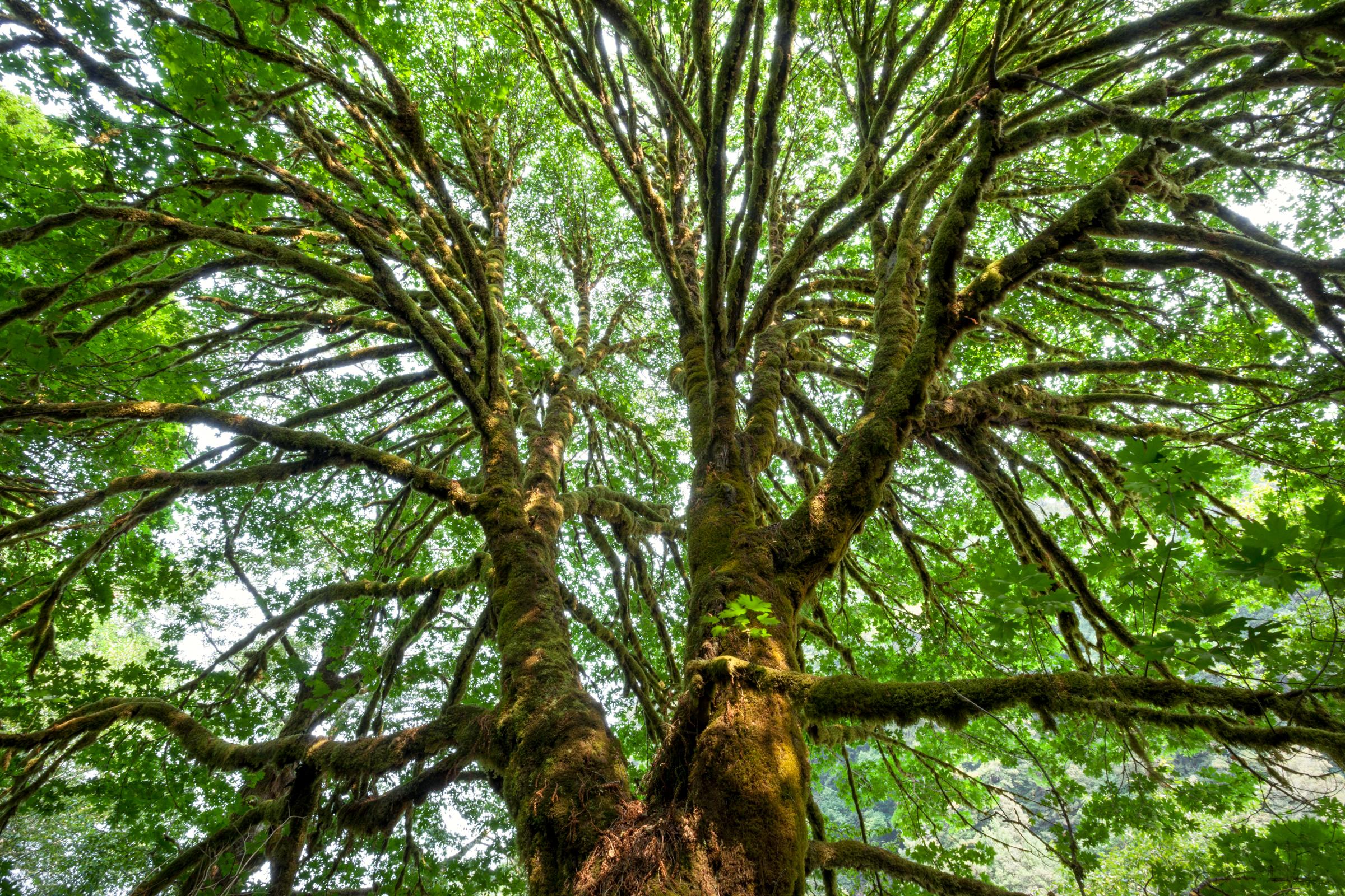 Rainforest Maple.jpg