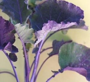 purple tree collard.jpg