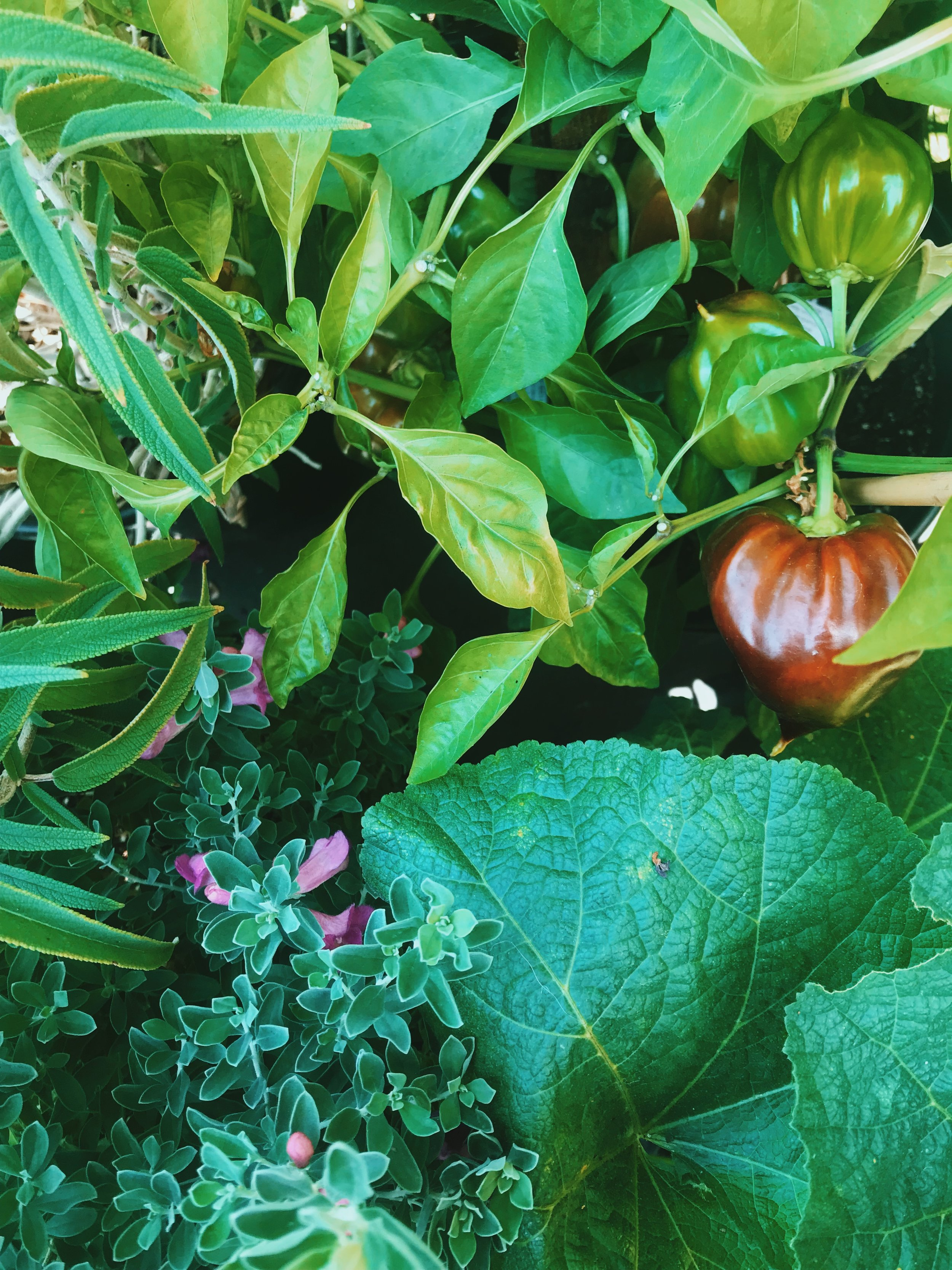 July 5th, 2019: Late Bloomer Varieties - POLLINATORShollyhockstexas ranger sageVEGGIEStoma verde tomatillopersian cucumberchinese green beanwaltham butternut squashzucchini squashvates collardsmomotoro gold, bleeding heart, indigo apple tomatoesfelicity jalepeno, holy mole, big jim, violet sparkle peppersjapanese eggplantMEDICINAL HERBSoriental mugworthuichol tobaccopurple hyacinth beanlemon balmHERBScatnipitalian large leaf basillemongrassmorrocan mintgreek oreganoitalian parsleytarragonlemon gold + pizza thymetoothache plant