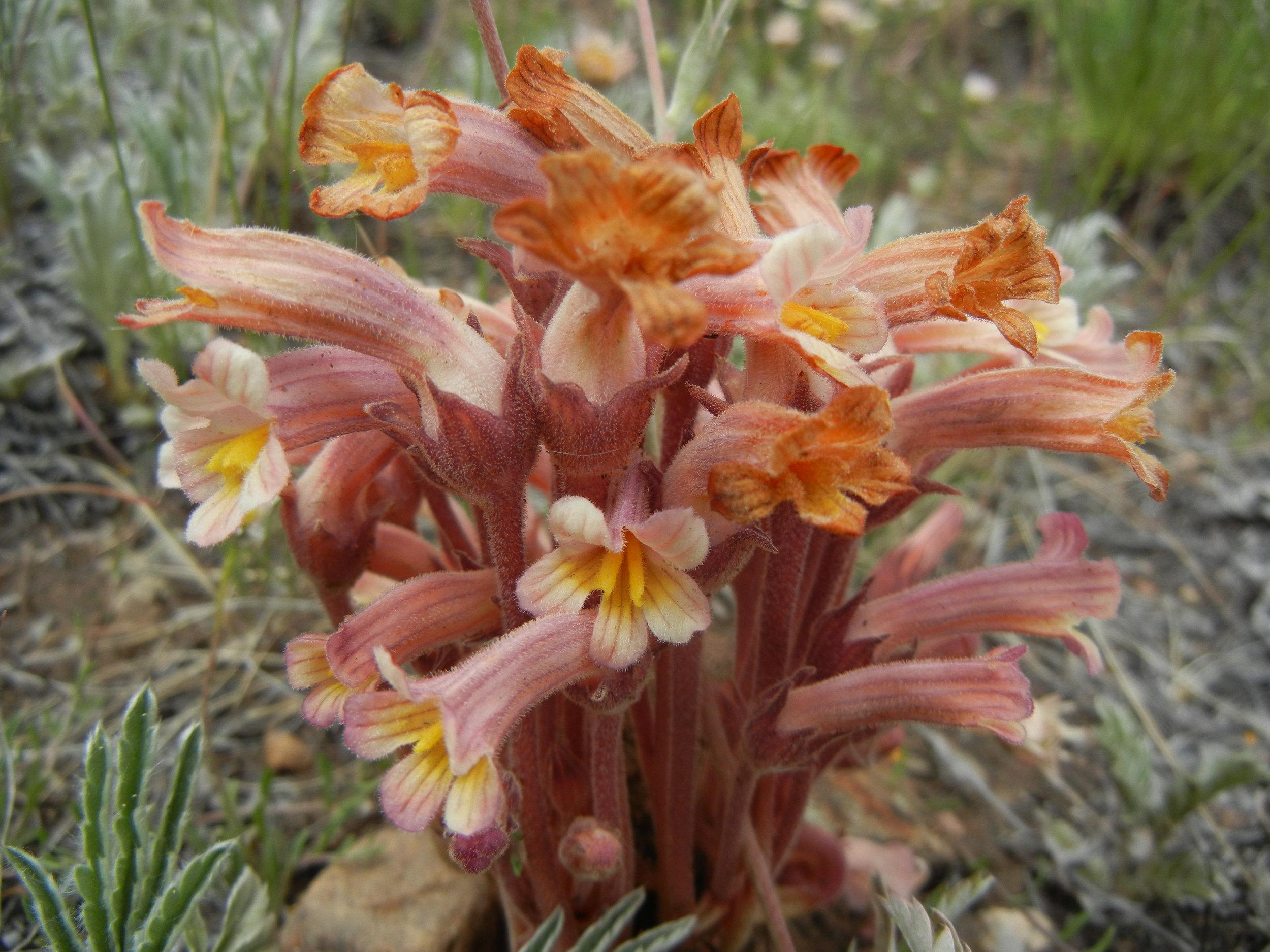 Orobanche fasciculata