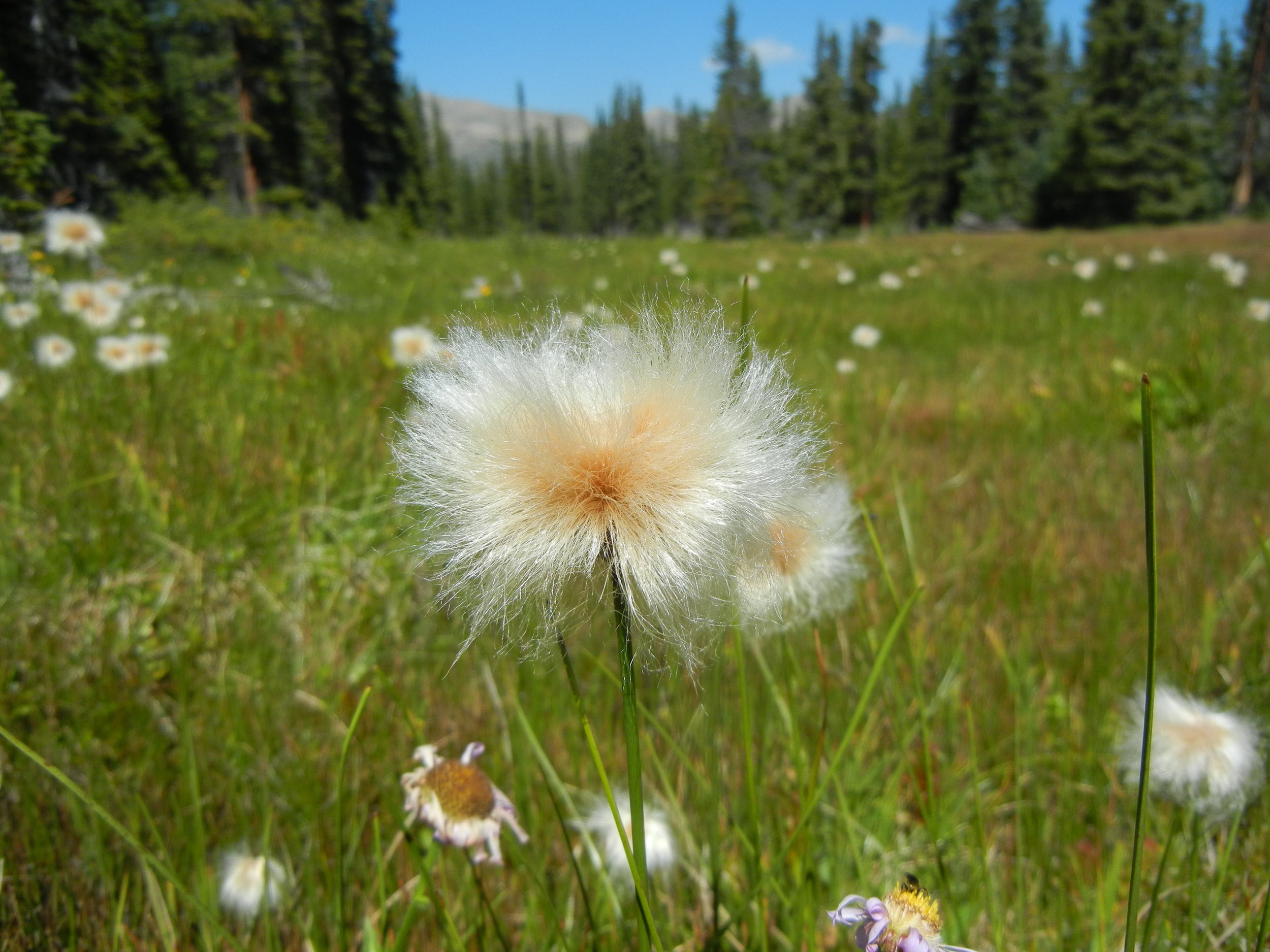 The elusive Colorado plant, Altai cottongrass: just one more reason to preserve and protect this special place.