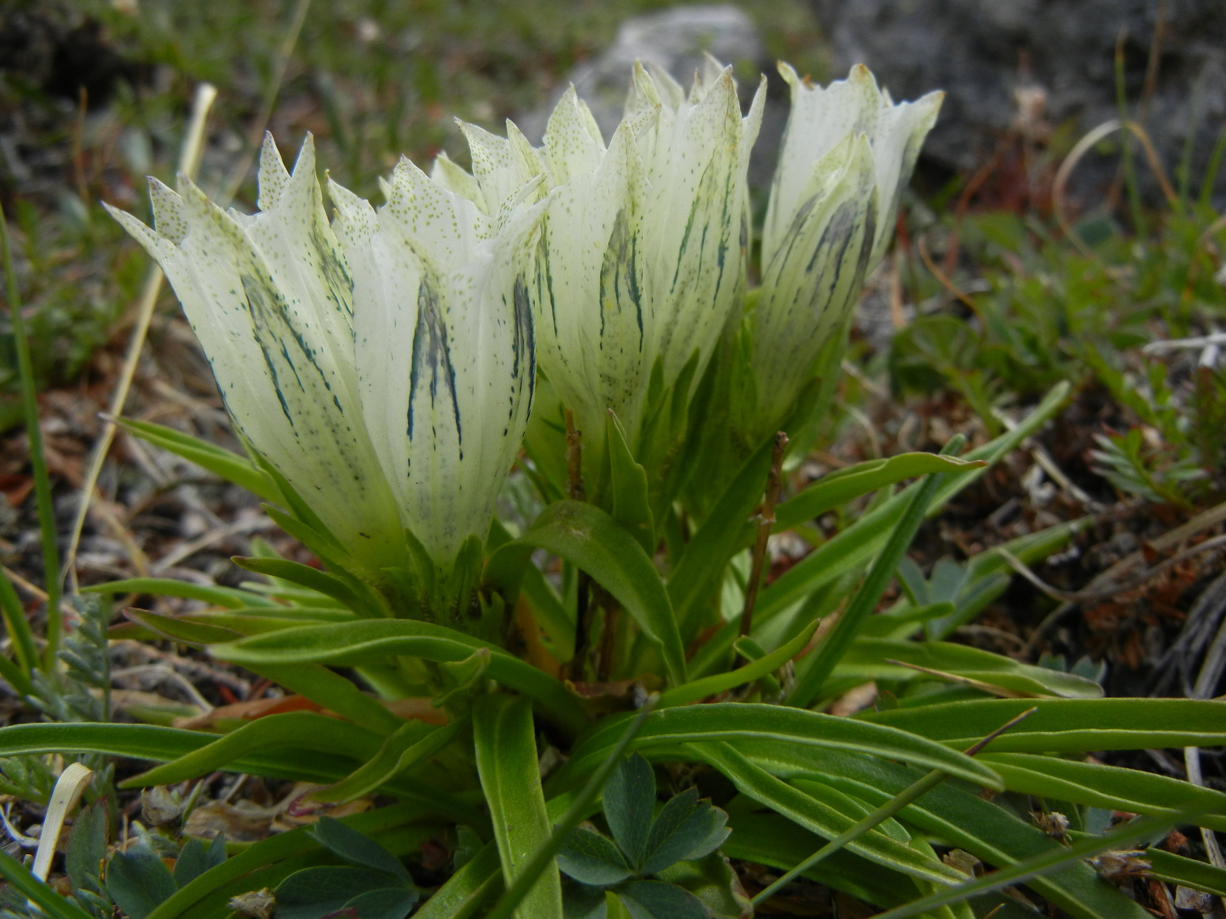 Native Arctic gentian, Gentiana algida, is one of the latest blooming wildflowers on the Pass