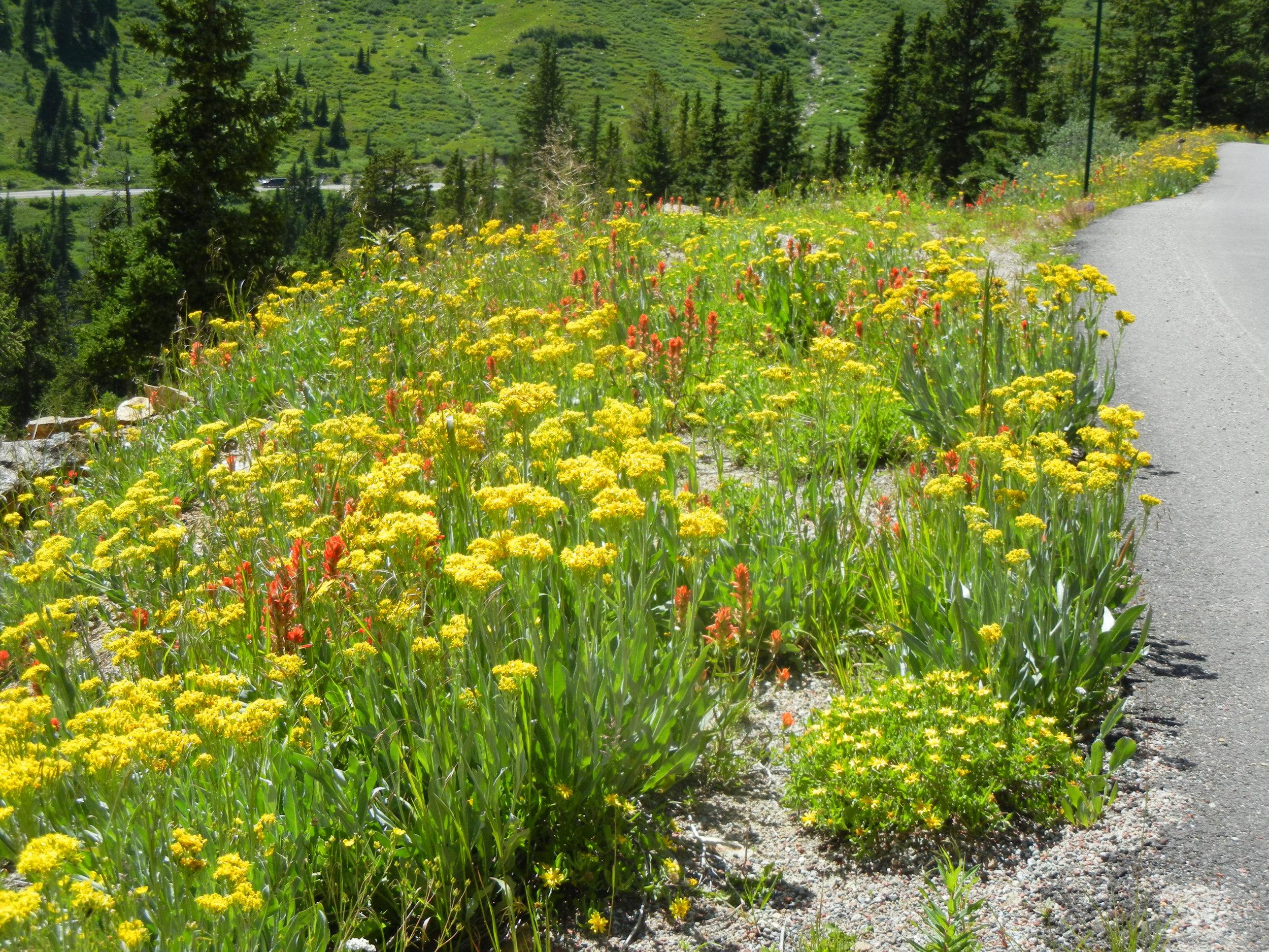 Native roadside wildflowers