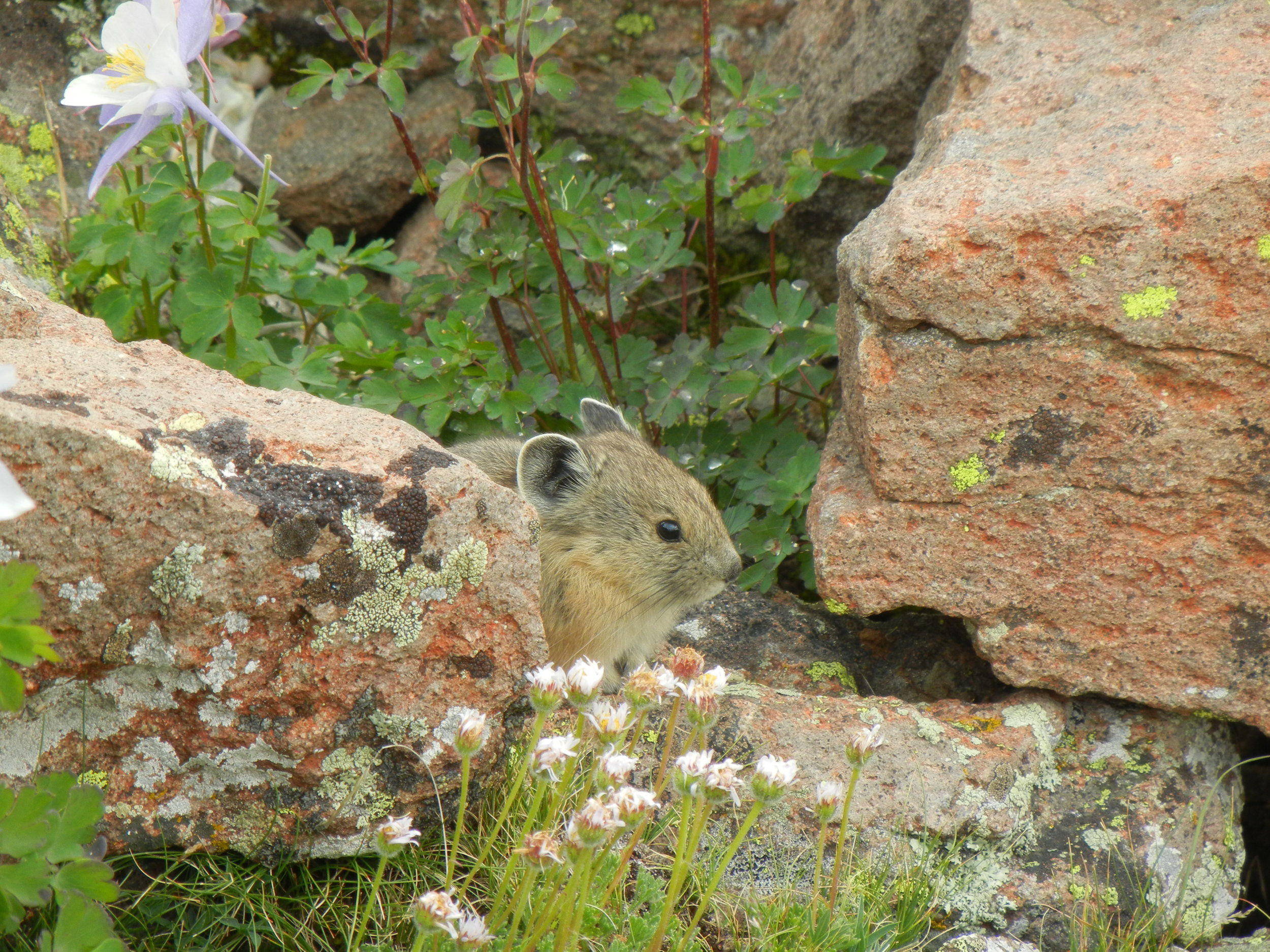 pika image to accompany story.JPG