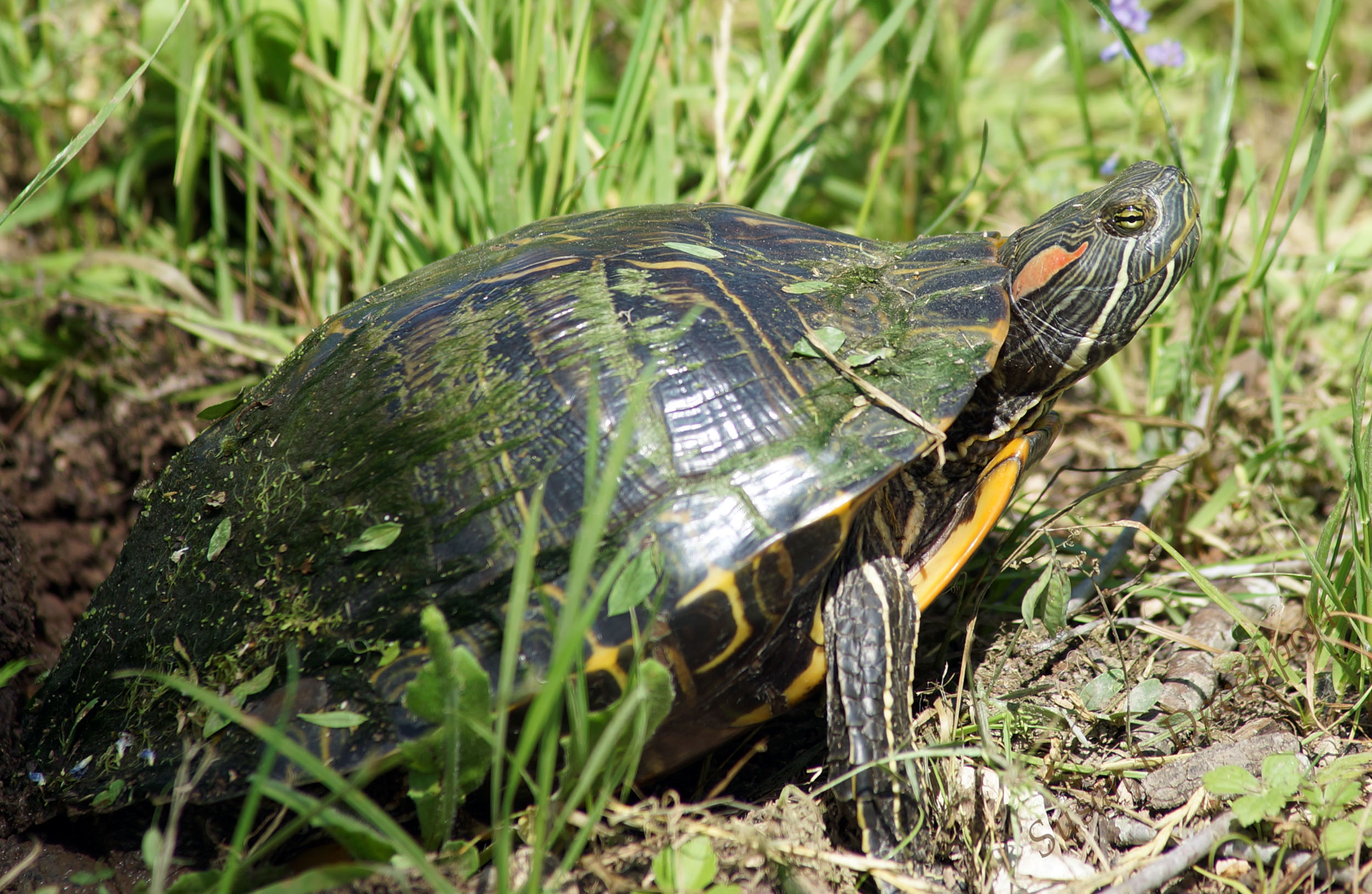 Brazos Bend State Park: Red Earred Slider Turtle