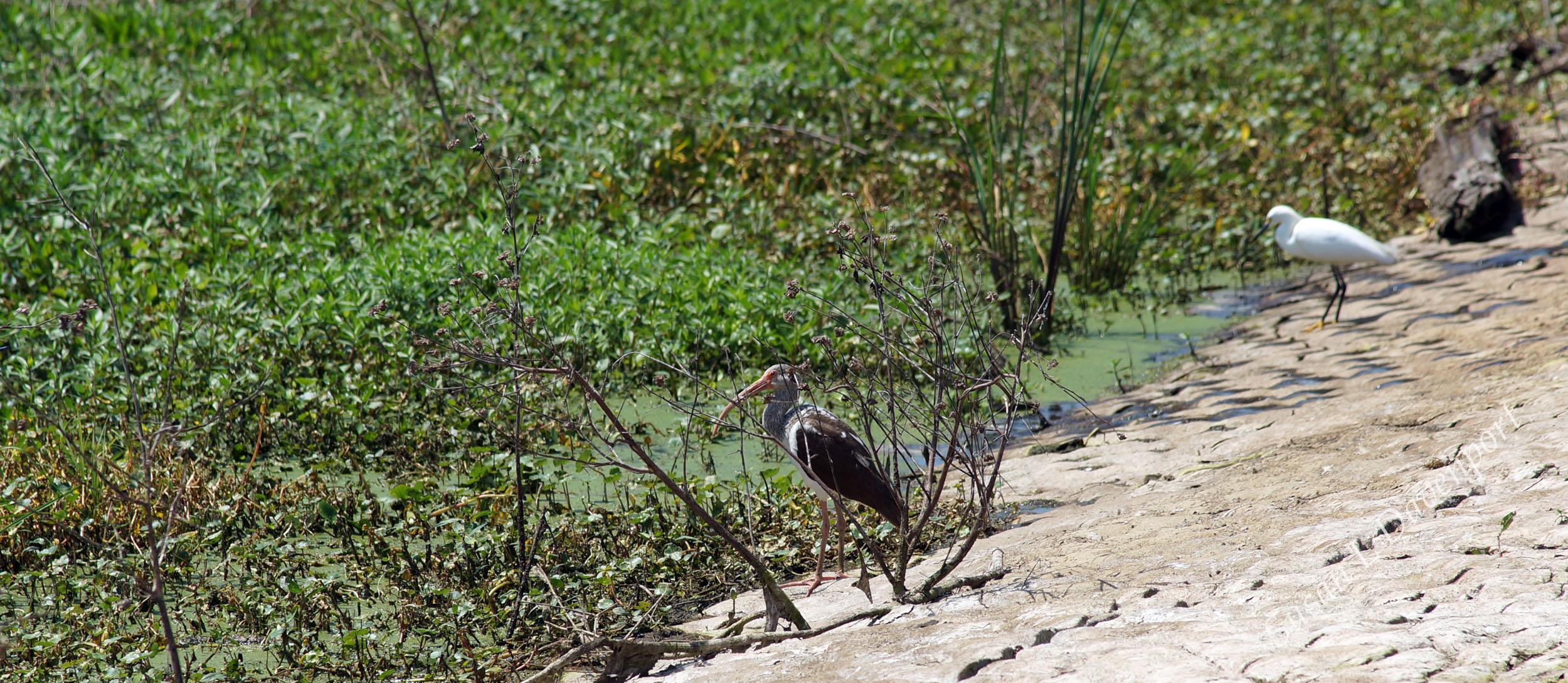 Brazos Bend State Park: Heron