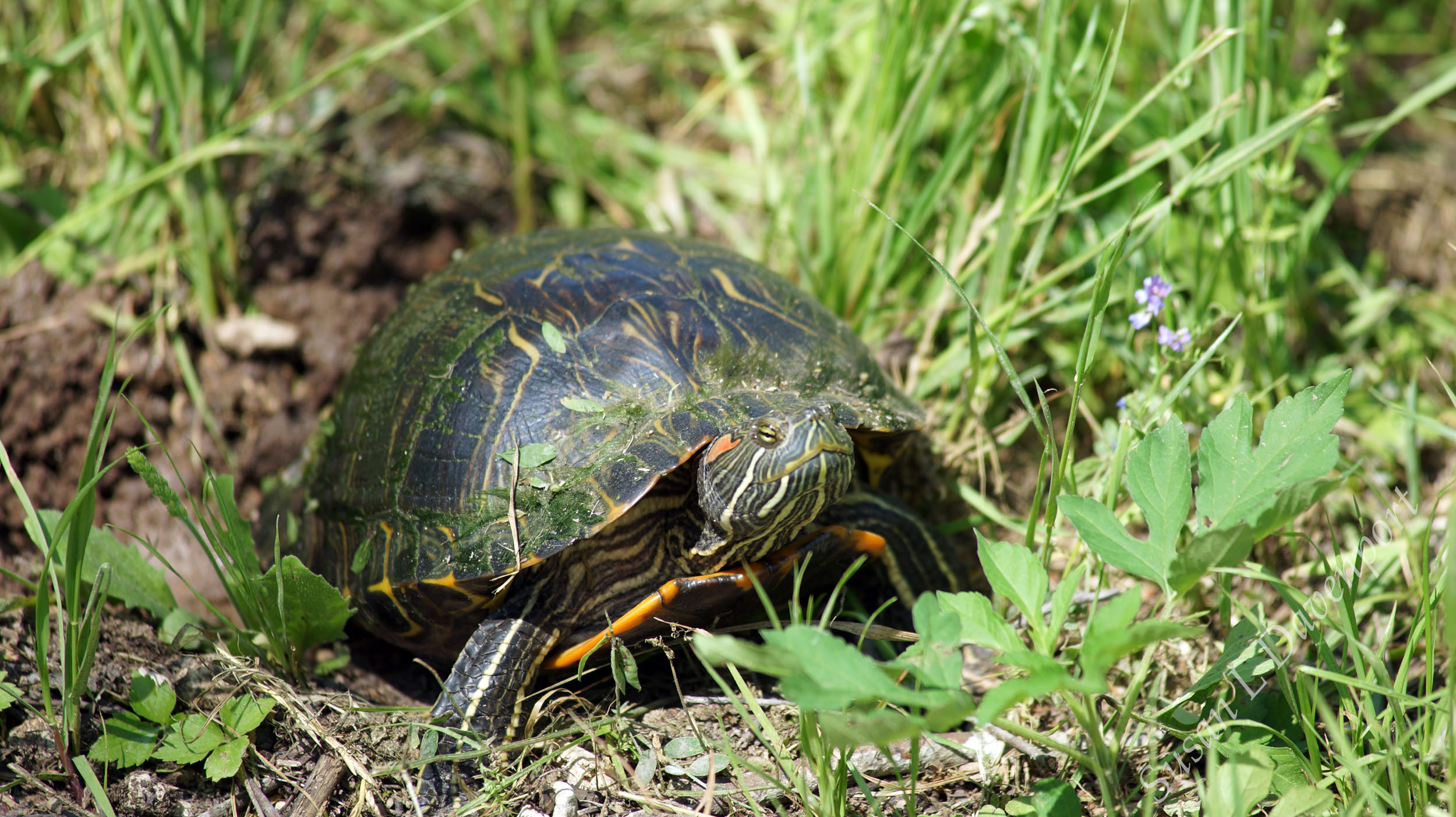 Red-Eared Slider Turtle  -  Photo by Susan L. Davenport