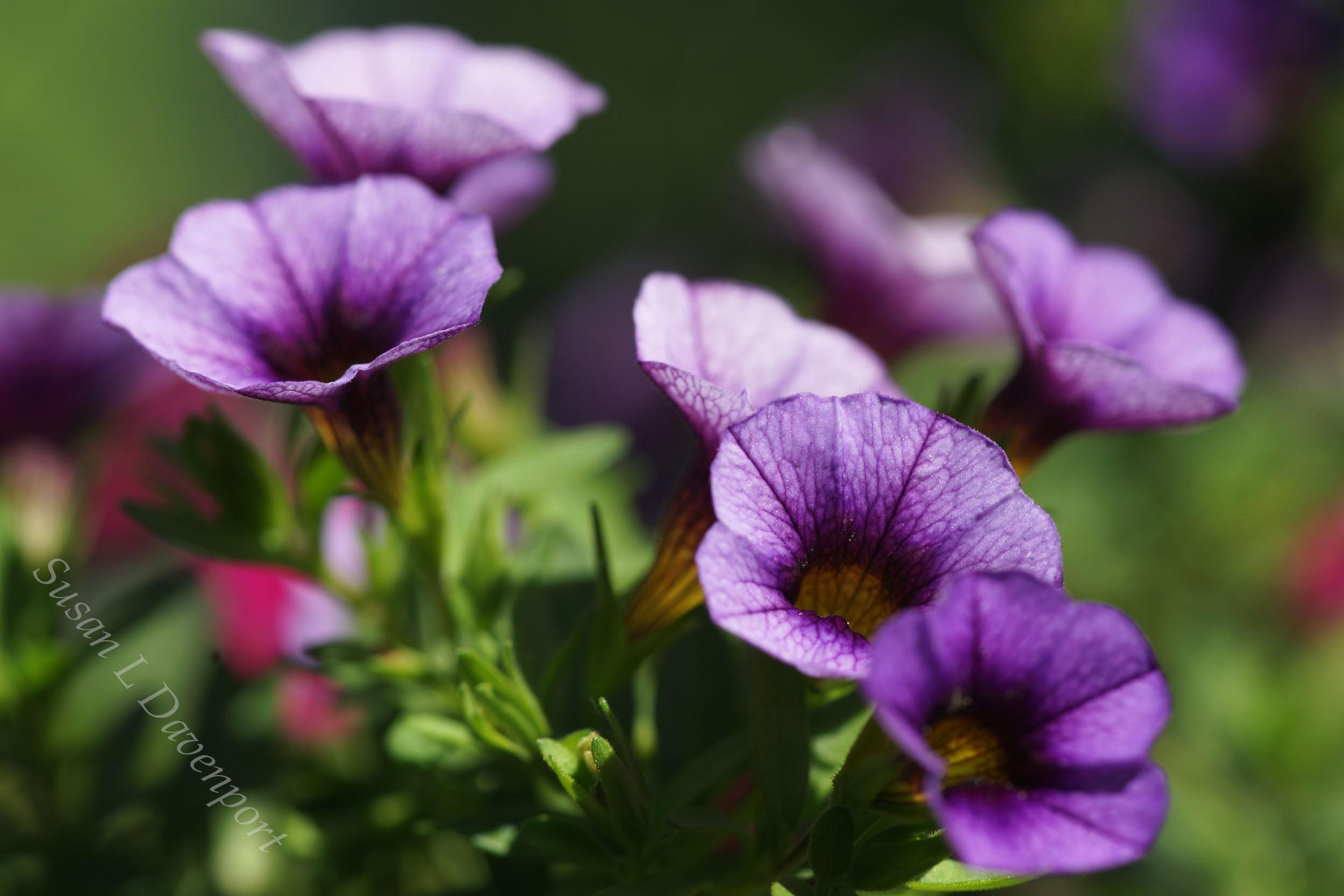 My Backyard: Mini-petunia